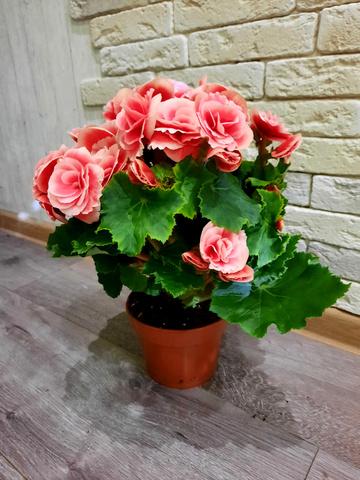 Бегония элатиор розовая махровая_room158