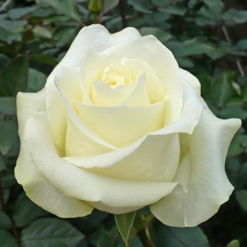 Роза Чайно-гибридная Polar Star