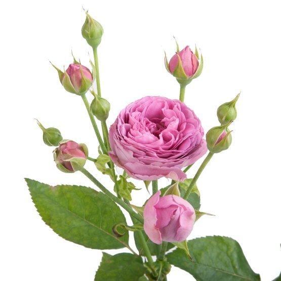 Букет 25 пионовидных кустовых роз Misty Bubbles