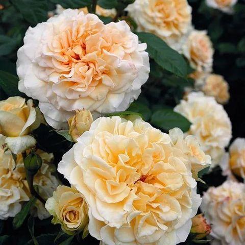 Роза Чайно-гибридная Сomtessa