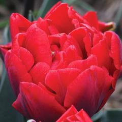 Тюльпан махровый ранний Ред Принцесс