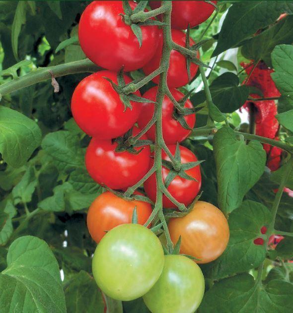 Гавриш Мопс F1 семена томата индетерминантного (Гавриш) Мопс_2_семена_овощей_оптом.JPG