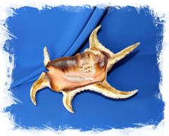 Коллекционная раковина Ламбис Хирагра, Lambis chiragra