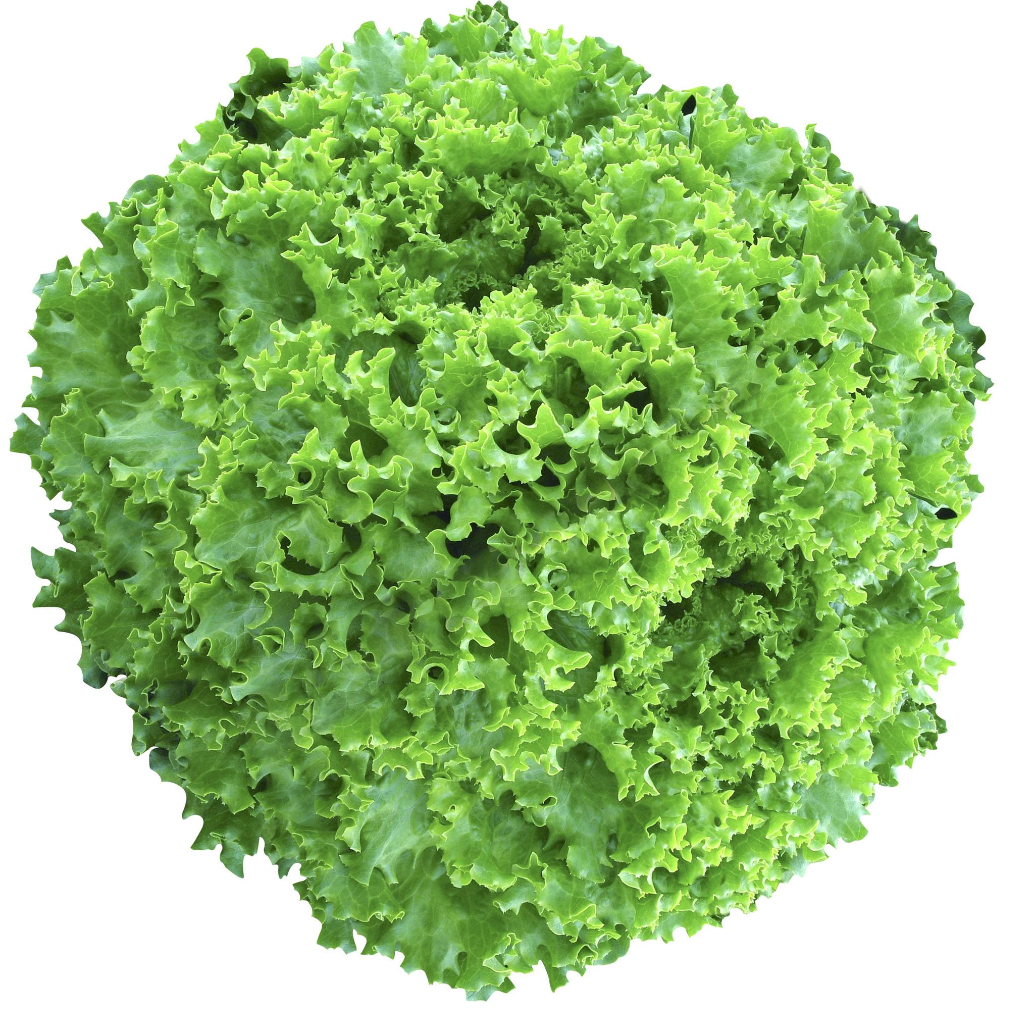 Салат Пепон семена салата батавия (Vilmorin / Вильморин) Пепон_F1.jpg