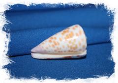 Конус тессилатус (Conus tessulatus)