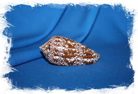 Конус текстиле (Conus textile)