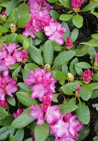Рододендрон якушиманский_Rhododendron yakushimanum Blurettia