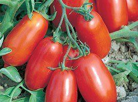 Томат Улиссе F1 семена томата процессингового (Syngenta / Сингента) Улиссе_F1_семена_овощей_оптом.jpg