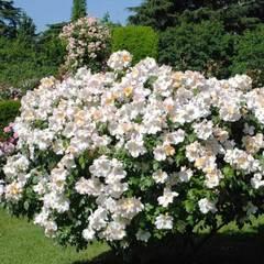 Купить Роза мускусный гибрид Салли Холмс
