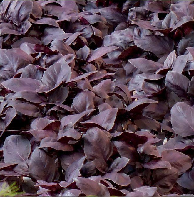 Базилик Жиголо семена базилика (Гавриш) Жиголо_семена_овощей_оптом.jpg
