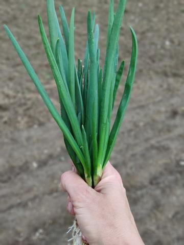 Зеленый лук (Никола-Ленивец), 150 гр