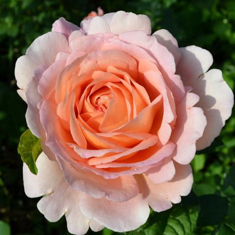 Роза парковая Пердита