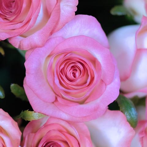 Розы двухцветные Jumilia