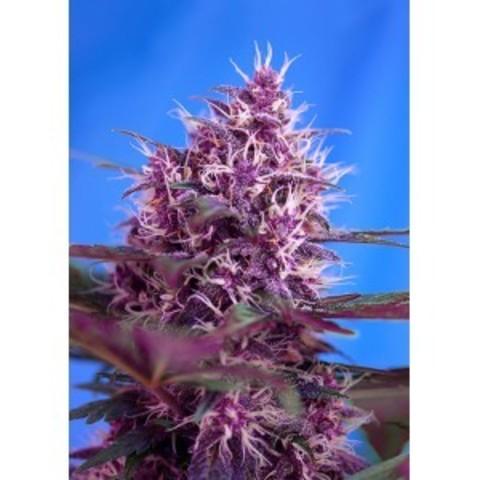 Красная конопля купить курению марихуаны