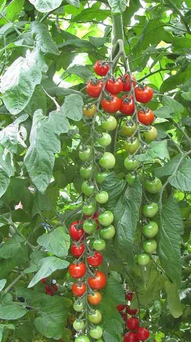 Каталог Чезаре F1 семена томата индетерминантного (Гавриш) F1_Чезаре_1.jpg
