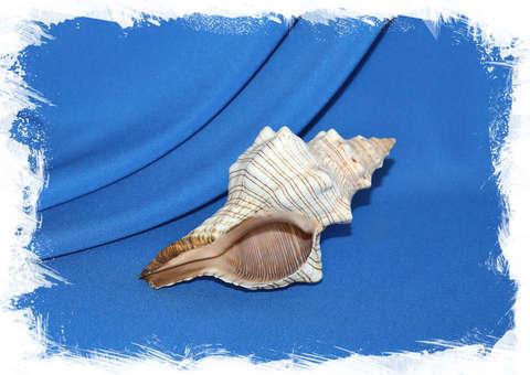 Плеуроплока трапезиум (Pleuroploca trapezium) от 15 см.