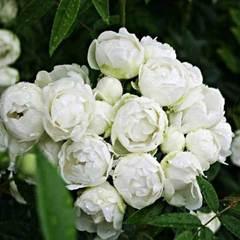 Купить Роза миниатюрная Вайт Морсдаг
