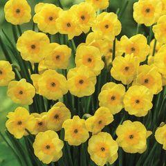 Нарцисс Ботанический Сан Диск