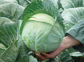 Белокочанная Юниор F1 семена капусты белокочанной (Syngenta / Сингента) Юниор_F1.jpg
