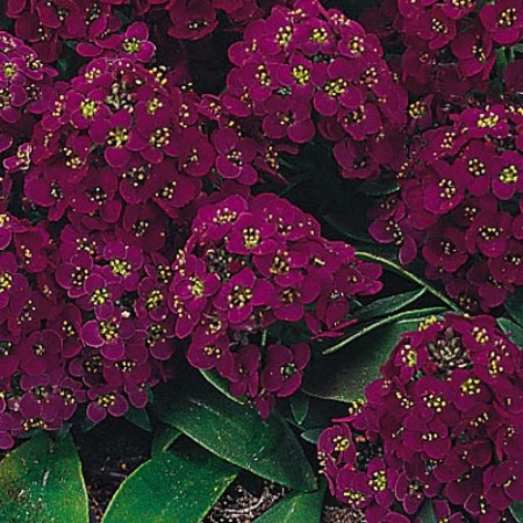 Цветы Семена цветов Алиссум Эстер Боннет Виолет, PanAmerican Seed, 50 шт. Алиссум_Эстер_Боннет_Виолет..1.jpg