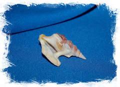 Морская раковина Пеликанья нога