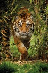 Картина раскраска по номерам 30x40 Тигр наступает