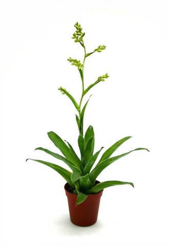 Катопсис Моррениана зеленый