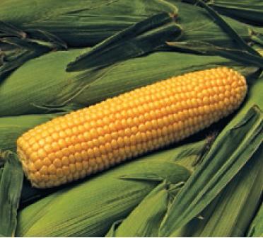 Кукуруза Бонус F1 семена кукурузы (Syngenta / Сингента) Бонус.PNG
