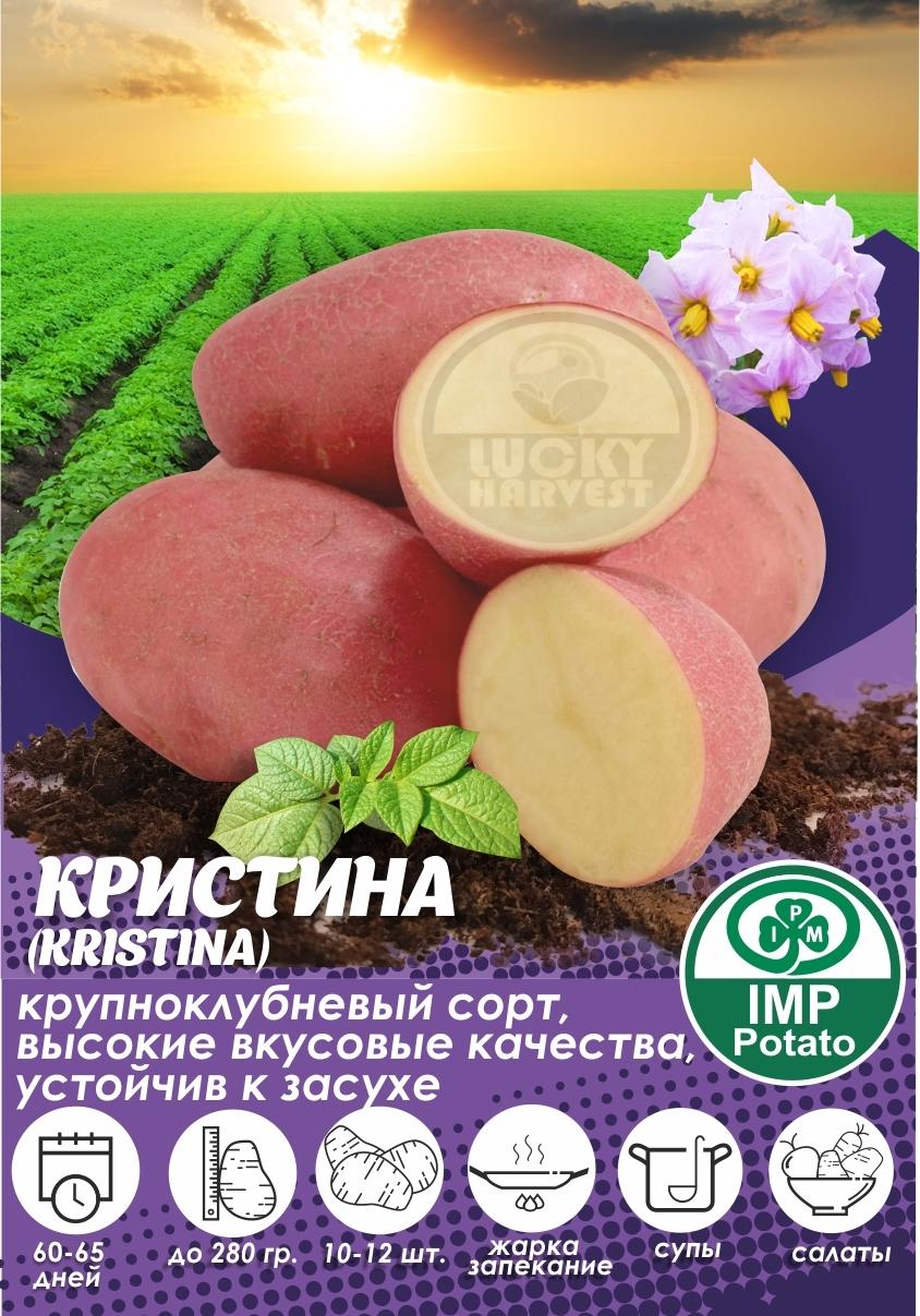 Семенной картофель КРИСТИНА ТМ IMP Potato (Голландия)