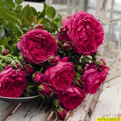 Роза плетистая Соул Soul купить
