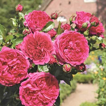 Роза плетистая Soul
