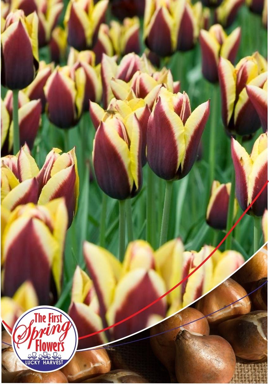 Луковицы Тюльпана Триумф Gavota  (Гавота) TM Jan de Wit en Zonen B.V. ( количество в упаковке 3 луковицы)