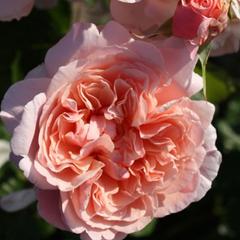 Роза плетистая Роз де Толбиак