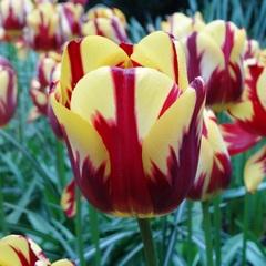 Тюльпан Простой поздний Хелмар