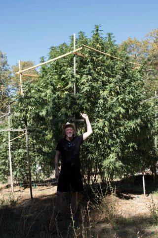 Сорт конопли чуйская вред от марихуаны на мужчин