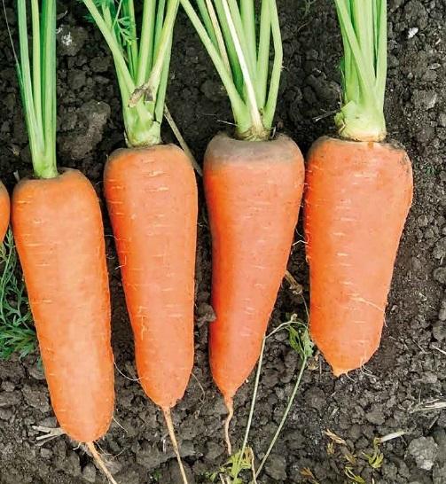 Курода/Шантане СВ 7381 ДЧ F1 семена моркови курода/шантане (Seminis / Семинис) св_7381_дч2.jpg