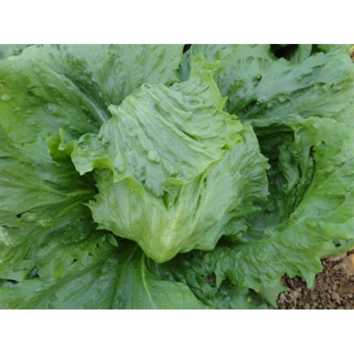 Салат Папиро семена салата айсберг (Enza Zaden / Энза Заден) укпукп.jpg