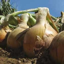 Репчатый Меранто F1 семена лука репчатого (Hazera / Хазера) Меранто_F1.jpg