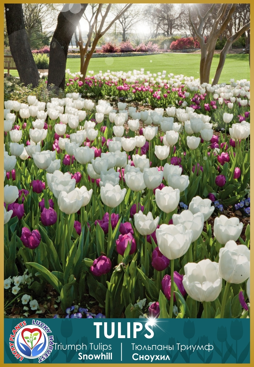 Луковицы  Тюльпана Триумф  Сноухил (Triumph  Tulip Snowhill ) ТМ LUCKY HARVEST