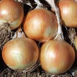 Репчатый Стартер F1 семена лука репчатого (Hazera / Хазера) Стартер_F1.jpg