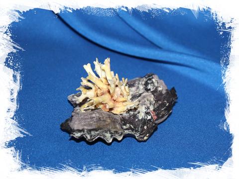 Хама лазарус на ракушке (Chama lazarus)