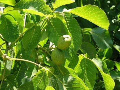 Грецкий орех лист