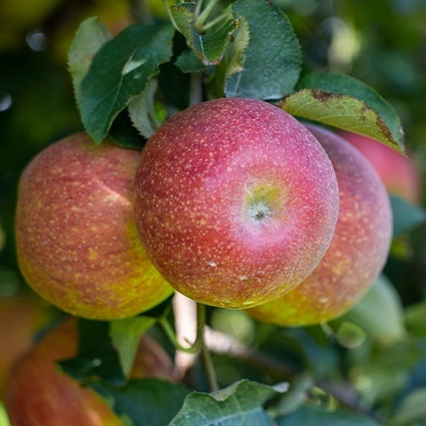 Яблоня осенний сорт Марат Бусурин