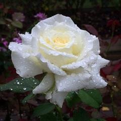 Роза чайно-гибридная папа Иоанн Павел II