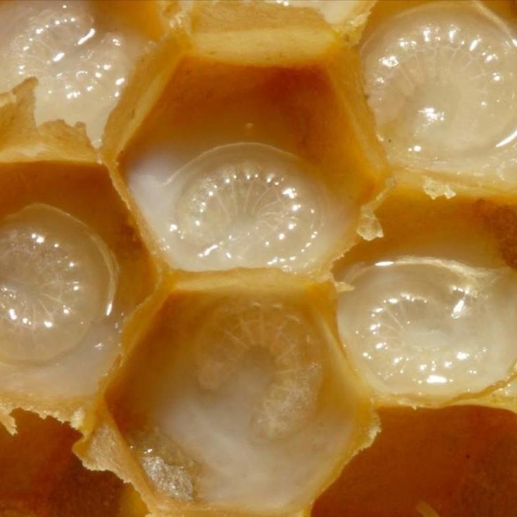 Пчёлы Трутневый гомогенат (молочко) адсорбированный malebee-milk-01.jpg