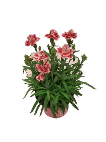 Гвоздика Оскар розовая с красным_pinkredgvozdika