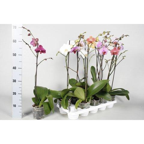 Фаленопсис (Орхидея) 1 ветка d 12