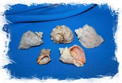 Морские ракушки оптом для поделок