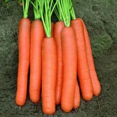 Семена моркови Монанта, Rijk Zwaan, 0,5 гр.