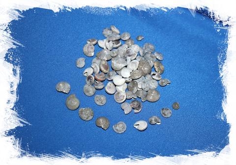 Умбониум серый